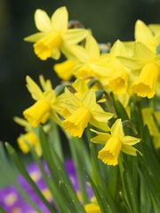 Bluehende Narzissen. Blooming daffodils. Credit: Christian Ohde/face to face