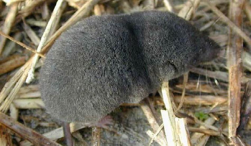 грызуны дача серый без хвоста фото очень любят многих